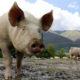 El cerdo salvador